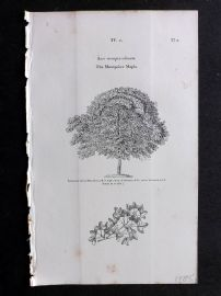 John Loudon 1838 Antique Botanical Tree Print. Montpelier Maple.